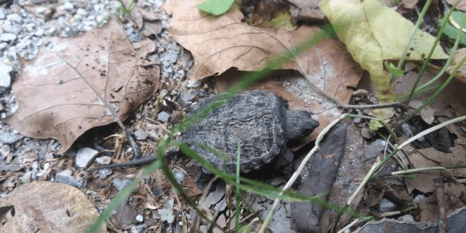 teeny-tiny snapping turtle Stratford, ON