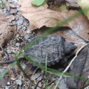 teeny-tiny snapping turtle