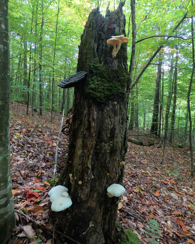 Un arbre avec différents types de champignons Lac-du-Cerf, QC