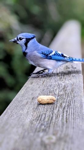 Beautiful Blue Jays Ingleside, ON