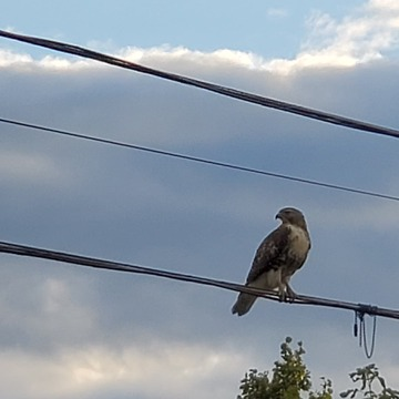 Falcon looking food.