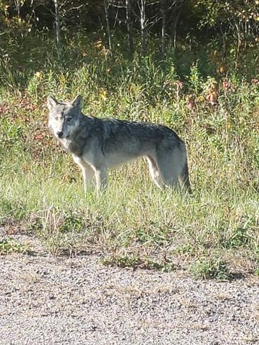 Grey Wolfie Manigotagan, MB