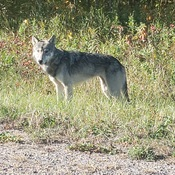 Grey Wolfie