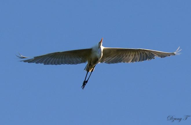 Great Egret Ottawa, ON