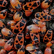 I SPOTTED the.... spotted lanternfly (Lycorma delicatula)