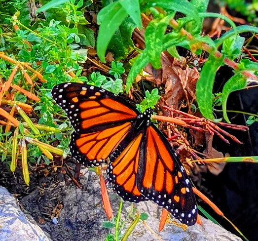 monarch butterfly Thornhill, ON