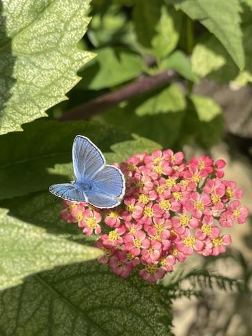 Petit papillon bleu Sainte-Thérèse, Quebec   J7E 2A6