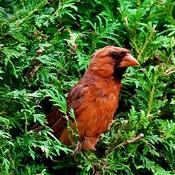 Cardinal and cedars.