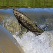 Salmon Run 20210926