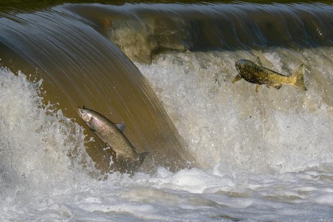 Salmon Run 20210926 Etobicoke, Toronto, ON