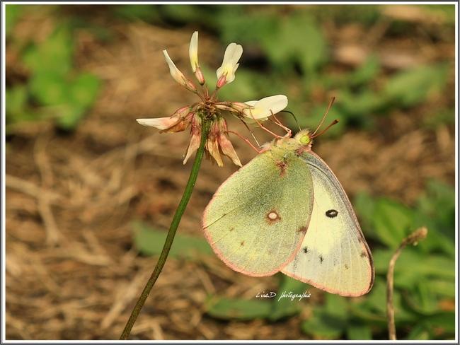 Joli papillon. Beauceville, QC