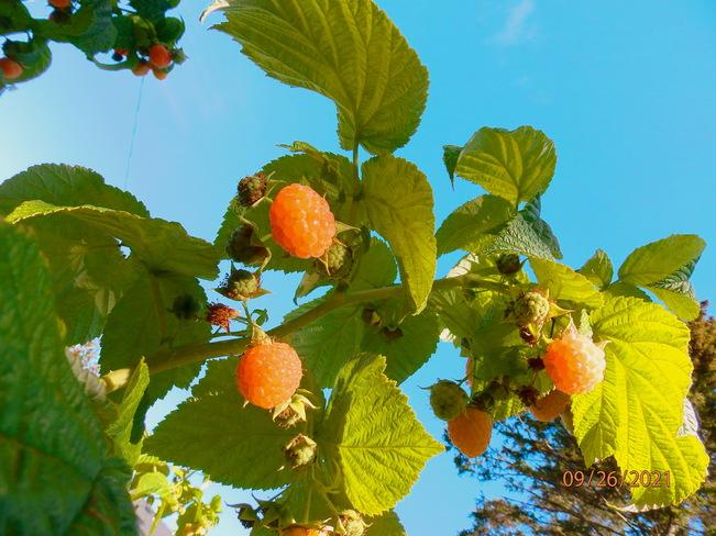 Fall fruit Thunder Bay, ON
