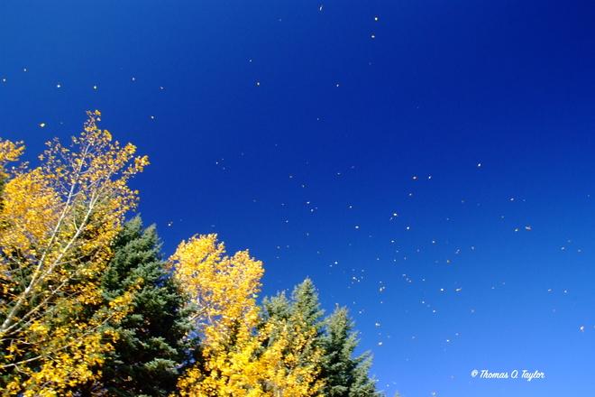Fall Leaves Blowing Away Leduc, AB