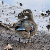Canard branchu femelle