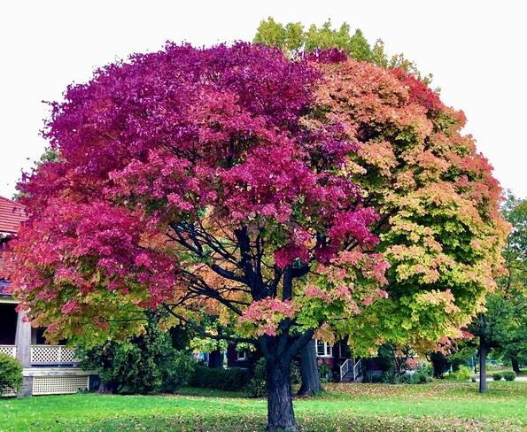 Autumn colours in one tree!' Sainte-Anne-de-Bellevue, Quebec, CA