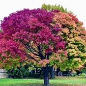 Autumn colours in one tree!'