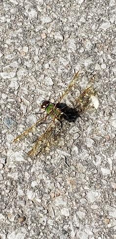 kookiest looking bug, EVER! Wexford/Maryvale, ON