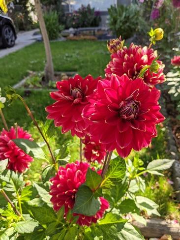 roses Delta, BC