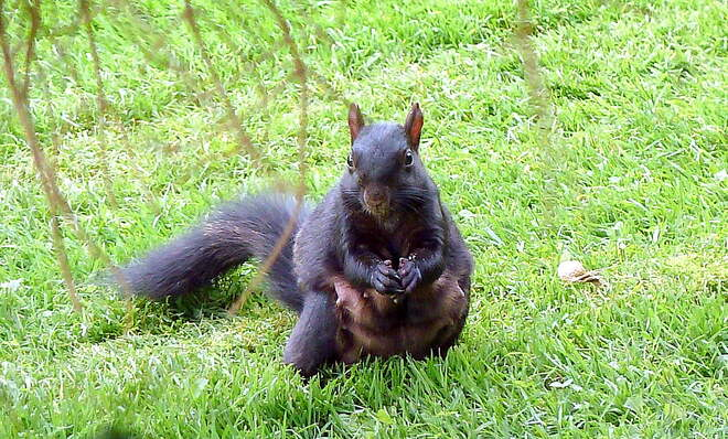 Mama Squirrel Bulks Up Toronto, ON