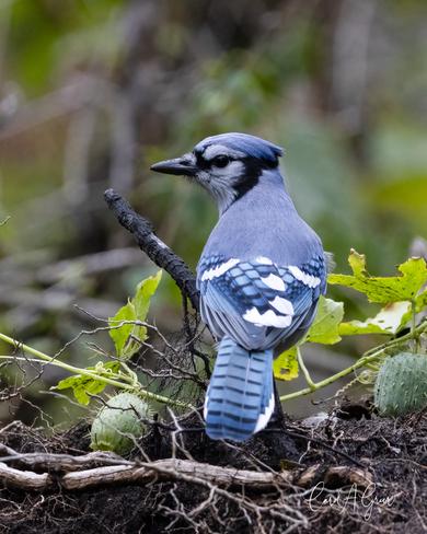 Blue Jay Cobourg, ON