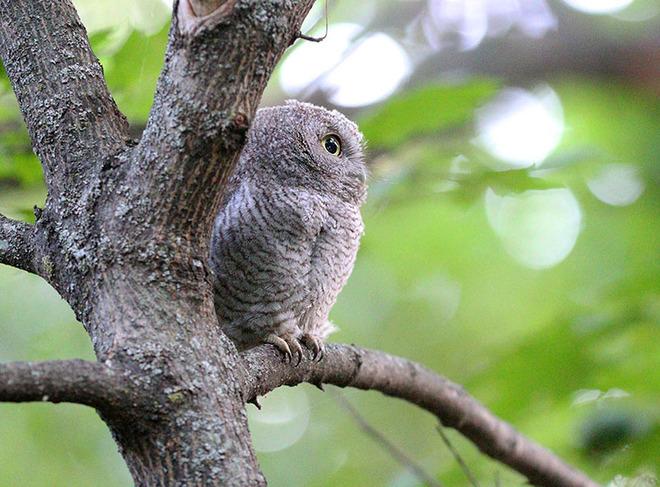 Baby screech owl Ottawa, ON