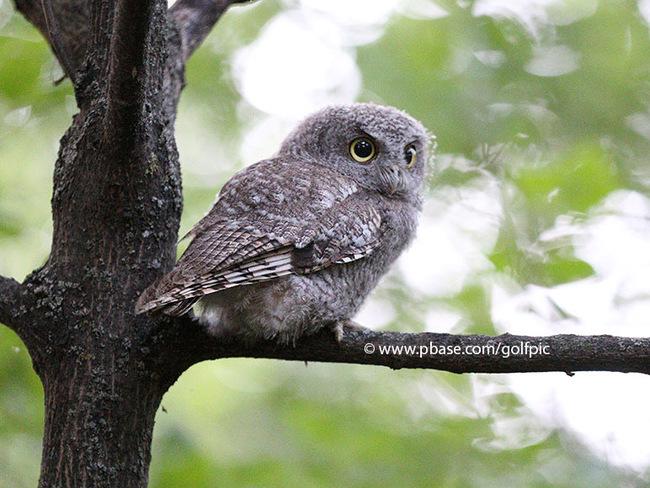 Screech owl this summer Ottawa, ON