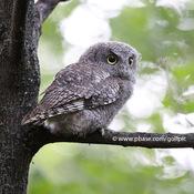 Screech owl this summer