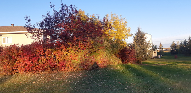 Fall colors Manning, AB