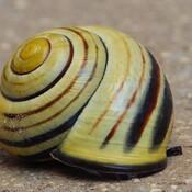 A live snail