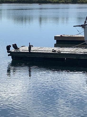 Cormorants Etobicoke, Ontario, CA