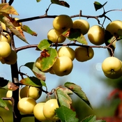 Crab Apples Ready to Pick