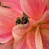 bee holds the falling dahlia