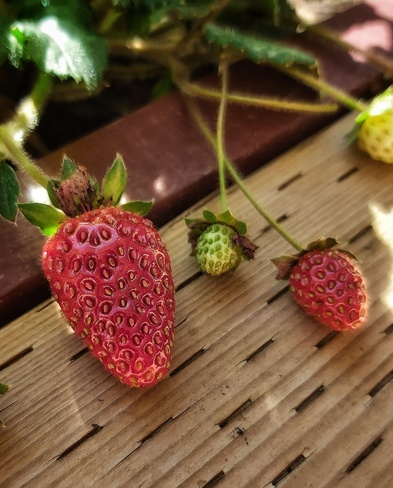 Strawberry delight Picton, ON