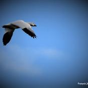 OIes blanches au vol