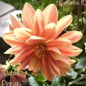 Dahlia Pinnata aka Garden Dahlia