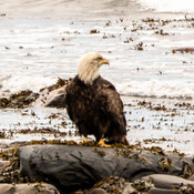 Aigle à tête blanche/ Haute Gaspésie