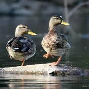 C'est la danse des canards......