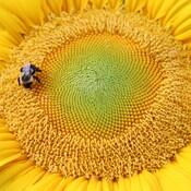 Bourdon sur fleur de tournesol.