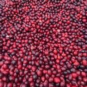 lot of cranberries