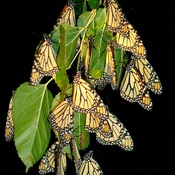 Monarch Butterflies Norfolk County Ontario