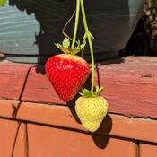 October strawberries
