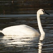 Trumpeter Swans at Ingleside Ontario