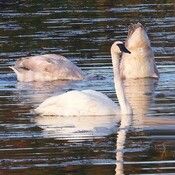 Majestic Trumpeter Swans