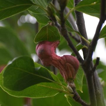 Magnolia Fruit