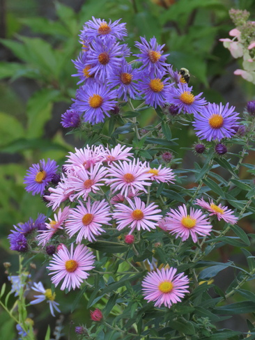 Aster Lavaltrie, QC