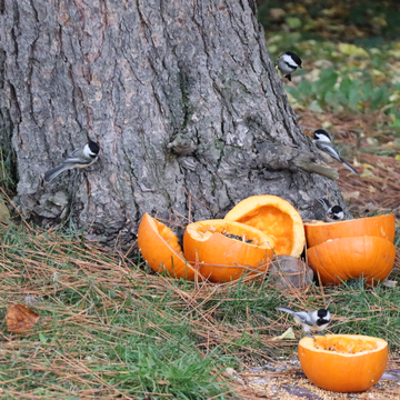 Pumpkins and chicadees