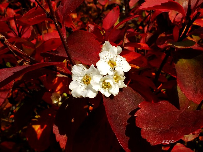 Fleurs de Spirée St-André de Kamouraska