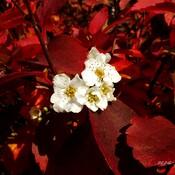 Fleurs de Spirée