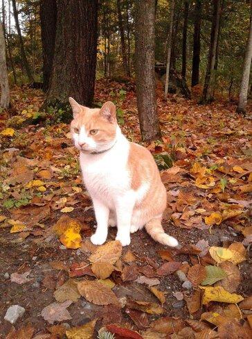 Félin en automne Bromont, QC