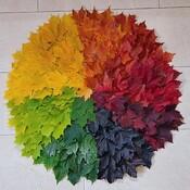Colour Wheel of Maple Leaves